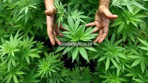 dagga cannabis marijuana kush